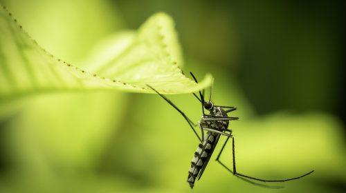 Zanzara Aedes Aegypti