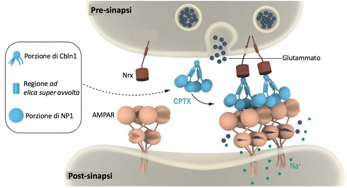 Proteina che cura sinapsi